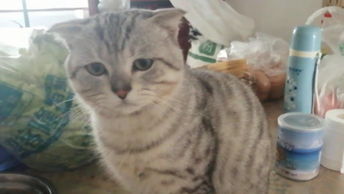 """主人想看小猫""""飞机耳"""",猫咪直接恼火了:我打你啊!"""