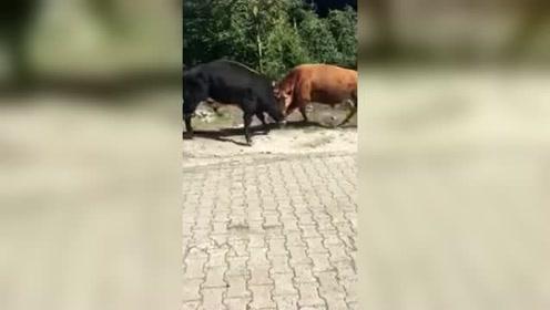 看热闹的结果!男子车内观看两头公牛打架 下一秒后悔不已