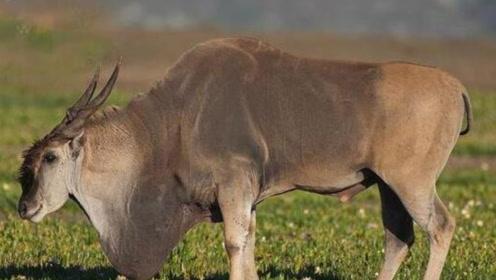 世界上个头最大的羊,体重达到1吨,网友直呼:味道应该也不差