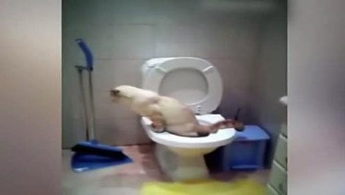 铲屎官,你这个猫咪是怎么教的,竟然自己上厕所使用马桶!