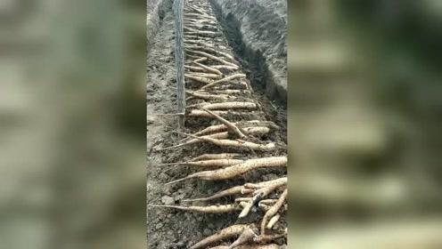 挖山药也是要有技术的