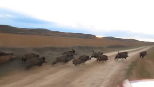回家路上遇野猪群:油门踩尽撞上去,能不能撞倒几个就看天意了
