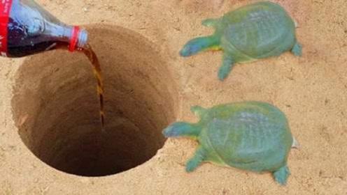 小伙为了在洞里捕甲鱼,竟把可乐往洞里倒,下一秒甲鱼纷纷跳了出来