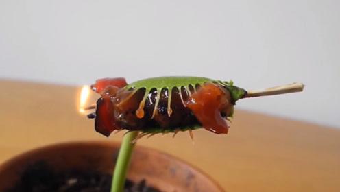 小伙陪捕蝇草烤串,荤素搭配完美,捕蝇草吃得津津有味!