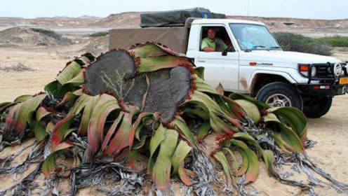 """非洲沙漠出现""""大章鱼"""",吸收附近的水分生存,已活1000年之久"""
