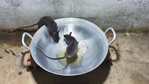 老鼠偷油吃,掉进油锅出不来,这老鼠陷阱真不错