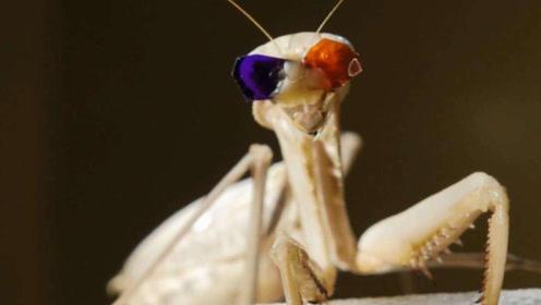 科学家耗资千万,给螳螂戴上了3D眼镜,结果令人难以置信!