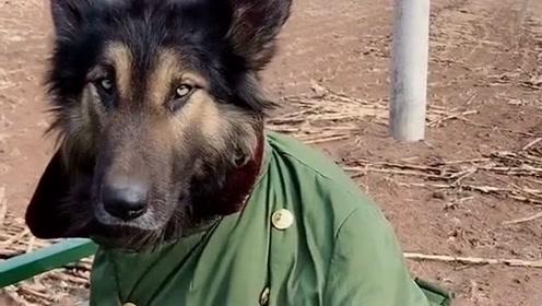 今年的冬天太冷了,主人怕自家的狗被冻感冒,将自己的棉袄给它穿上了!