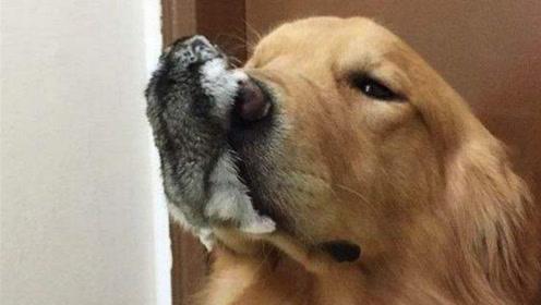 家里养了二哈和仓鼠,狗狗一口含住仓鼠,真是狗拿耗子