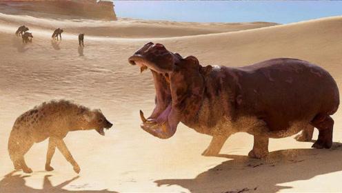 鬣狗智取4吨重河马,一口下去河马再站不起来,镜头记录全过程!