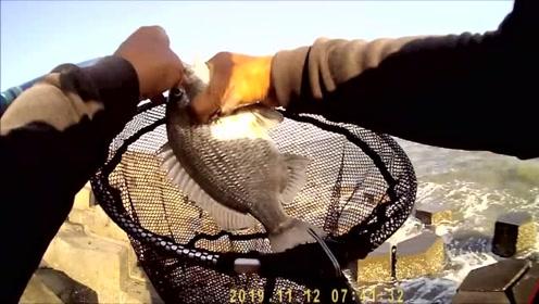 前打钓鱼,一斤多的黑鲷鱼连上好几条,拉爽了