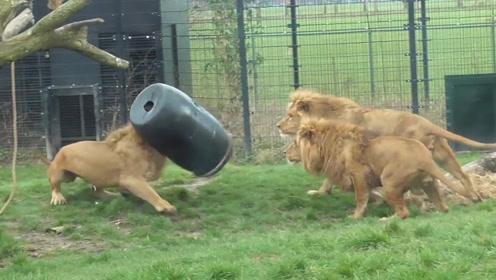 狮子的逗比,已经融入日常生活中,难怪打不赢老虎!
