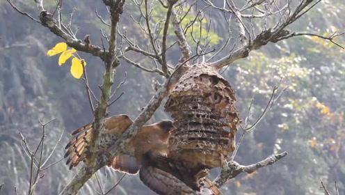 一窝马蜂都不敢招惹这只鸟,只能让它吃个够,这鸟什么来头?
