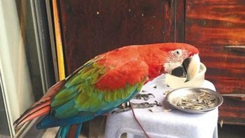 小鹦鹉嗑瓜子的水平,高的超出你的想象,嘴巴怎么可以这么灵活