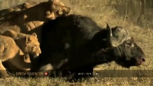 十几头狮子围攻一个野牛,野牛群果断放弃它撒腿就跑