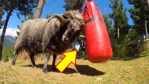 """山羊用拳击袋练""""铁头功"""",被撞得头昏脑胀!气得直跺脚!"""