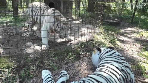 饲养员抱来一只假老虎,真老虎看见后,反应太逗了吧