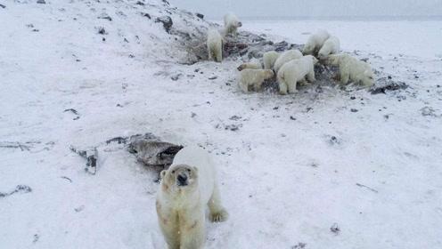 """56只北极熊组团""""观光""""俄罗斯一村庄 只因气候变暖没饭吃"""