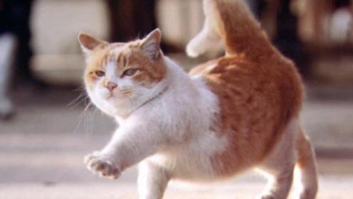 """""""正经猫步""""怎么走?猫咪亲自表演猫步,走路带风,步伐六亲不认!"""