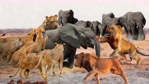 狮子正在吃小象,小象惨叫把象群引来了,镜头记录惨烈过程!