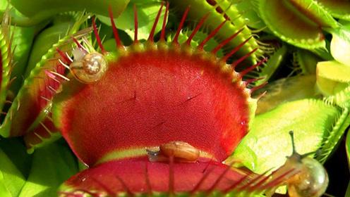 捕蝇草啥都吃?老外抓了一只蜗牛做实验,镜头下画面太有趣了!