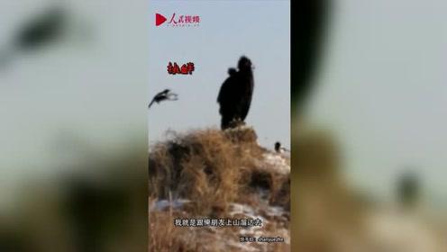 超记仇!男子拍下喜鹊复仇画面 一米高大雕被百只喜鹊追得落荒而逃