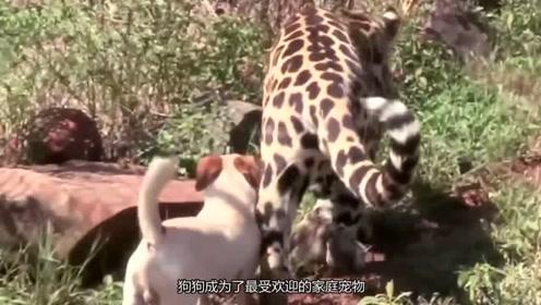 狗狗当豹子保姆陪它长大,最后豹子变身小奶狗,奶凶奶凶惹人爱