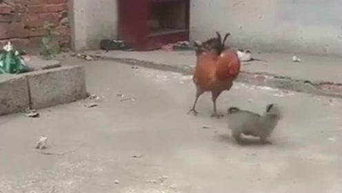 小奶狗挑衅大公鸡,这场战斗看的我真是心服口服,都挺机智啊!