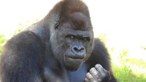 日本网红大猩猩,无数女性为它尖叫,堪称动物界吴彦祖!