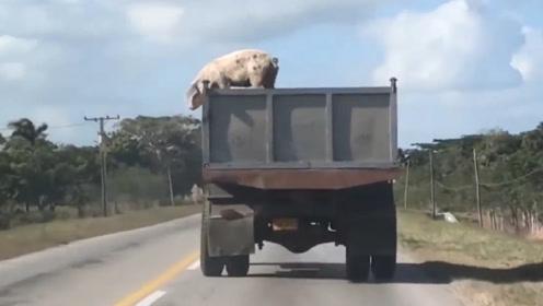 母猪从车上一跃而下,结果猪算不如天算,镜头记录下搞笑的全过程