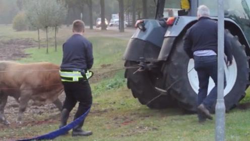 一只强壮的公牛逃出农场,被主人找到后,直接用拖拉机拖了回去
