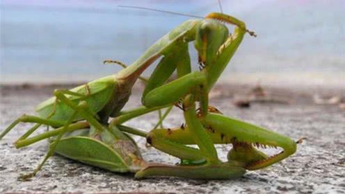 """为什么母螳螂要""""吃夫""""?并不是为了下一代,看完后涨知识了!"""