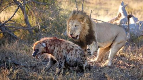 """狮子兄弟逮到一只鬣狗,咬断后肢后开始""""羞辱"""",镜头拍下全过程"""