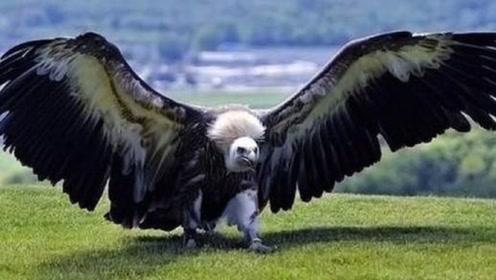 世界上最大的鸟类,翅膀能把人拍飞,人类看到都要跑!