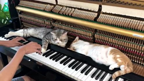 喜欢趴在琴架上猫咪,边听音乐一边打盹儿,还能享受按摩