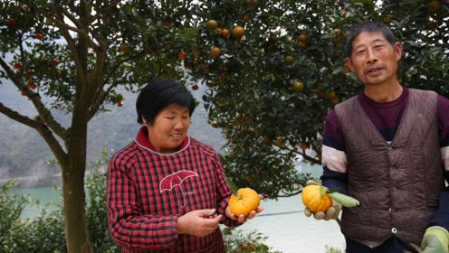 七旬夫妻种橘子养鸡,收入比打工儿子多,备好年猪盼儿回家过年