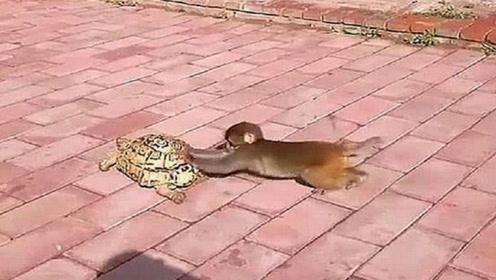 猴子看见乌龟走得太慢了,跑到后面帮着推,全程真是太逗了