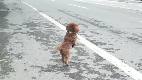这狗子居然会打车,在马路上站起来的样子真像人,天呐,成精了!