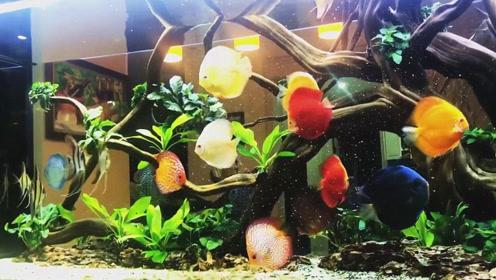 混养了两年的七彩神仙鱼,给人的感觉特别美,结果让人越看越陶醉