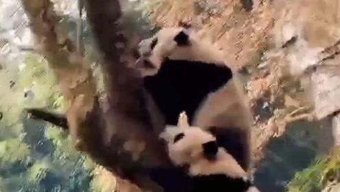 """四川绵阳发生4.6级地震,大熊猫放下竹子健步如飞上树展现极强""""求生欲"""""""