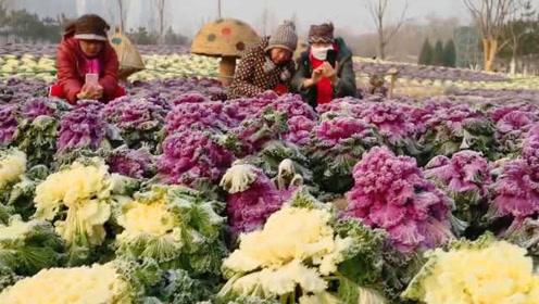 """竟有些美!公园种万株变种""""菜花""""成景观,园方:无毒但别挖走吃"""