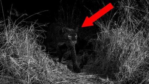 世界罕见的黑色老虎,黑夜里根本找不到踪迹,怕是挖过煤的?