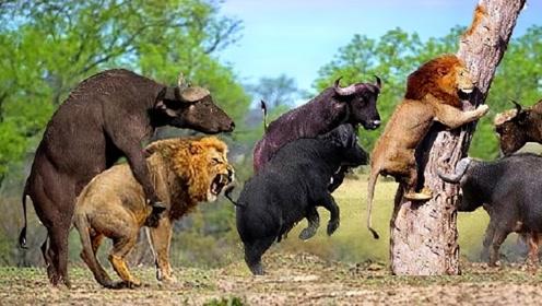 100只野牛报复狮子,把狮群打得落荒而逃!镜头拍下惊险全过程