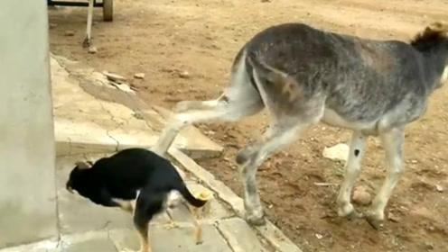 狗子和驴抢食,结果被驴一脚踹中脑袋,驴:让你嘚瑟!