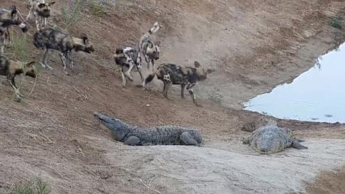 饿了几天的野狗,碰上了正在晒太阳的鳄鱼,镜头拍下精彩的瞬间