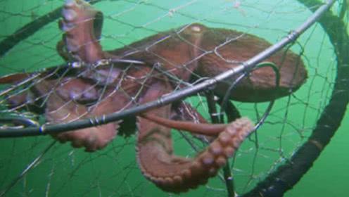 章鱼钻进捕鱼人的笼子,意识到中计后,接下来反应让人惊讶