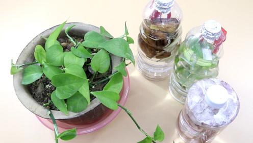 家里养绿萝,3种垃圾泡水浇花盆里,绿萝蹭蹭长,不黄叶