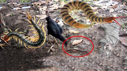 五毒之一的蜈蚣,为何不是公鸡的对手,看完你就知道了