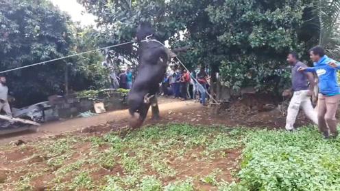 一头牛被送往屠宰场,不料下车时牛儿发难,场面混乱不堪!