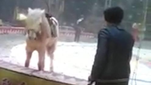 马戏团表演发生意外!老虎忽然袭击白马,驯兽员抓紧时间制止!